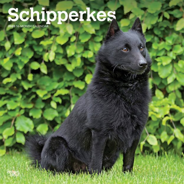 Schipperkes 2020 12 x 12 Inch Monthly Square Wall Calendar, Animals Dog Breeds