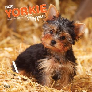 Yorkie Puppies 2020 12 x 12 Inch Monthly Square Wall Calendar, Animals Small Dog Breeds Yorkshire Terrier