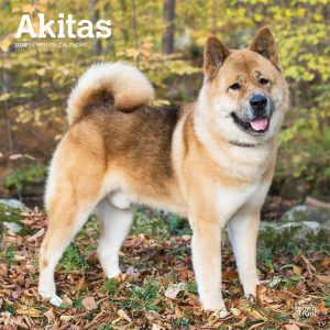 Akitas 2020 12 x 12 Inch Monthly Square Wall Calendar, Animals Dog Breeds