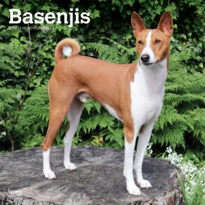 Basenjis 2020 12 x 12 Inch Monthly Square Wall Calendar, Animals Dog Breeds