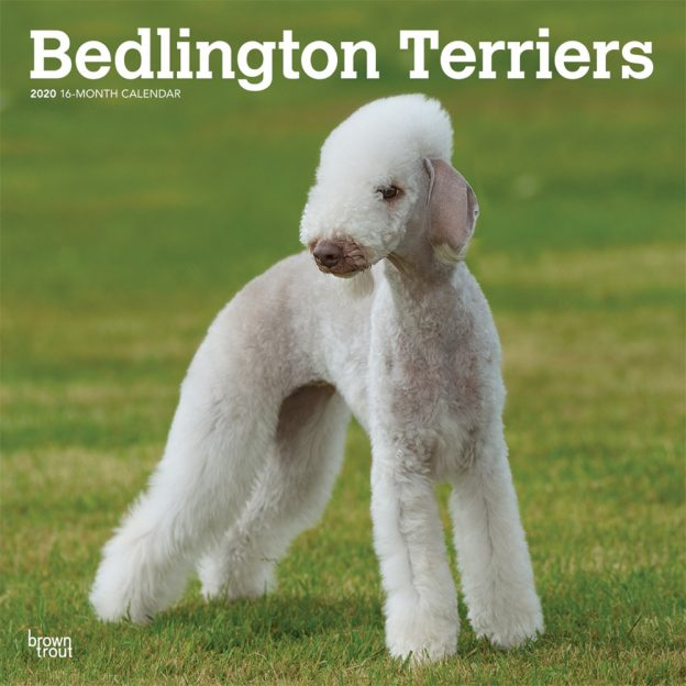 Bedlington Terriers 2020 12 x 12 Inch Monthly Square Wall Calendar, Animals Dog Breeds Terriers