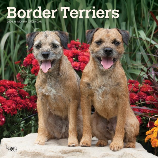 Border Terriers 2020 12 x 12 Inch Monthly Square Wall Calendar, Animals Dog Breeds Terriers