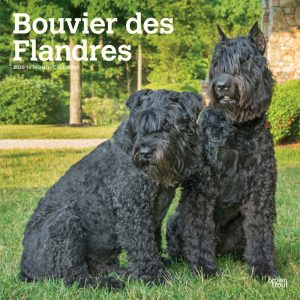 Bouvier des Flandres 2020 12 x 12 Inch Monthly Square Wall Calendar, Animals Dog Breeds