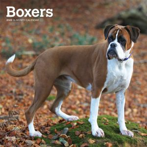 Boxers International Edition 2020 12 x 12 Inch Monthly Square Wall Calendar, Animals Dog Breeds