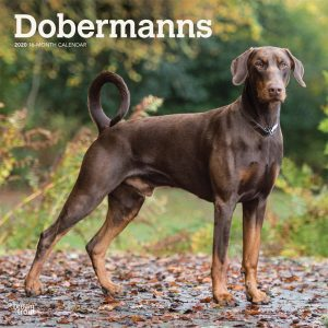 Dobermanns International Edition 2020 12 x 12 Inch Monthly Square Wall Calendar, Animals Dog Breeds