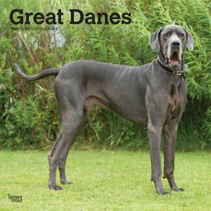 Great Danes International Edition 2020 12 x 12 Inch Monthly Square Wall Calendar, Animals Dog Breeds