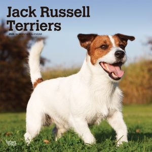 Jack Russell Terriers International Edition 2020 12 x 12 Inch Monthly Square Wall Calendar, Animals Dog Breeds Terriers