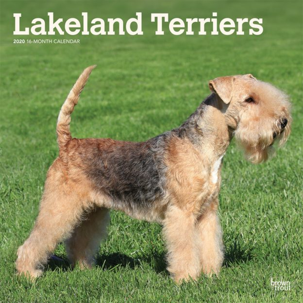 Lakeland Terriers 2020 12 x 12 Inch Monthly Square Wall Calendar, Animals Dog Breeds Terriers
