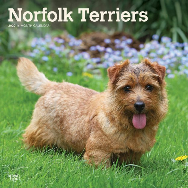 Norfolk Terriers 2020 12 x 12 Inch Monthly Square Wall Calendar, Animals Dog Breeds Terriers