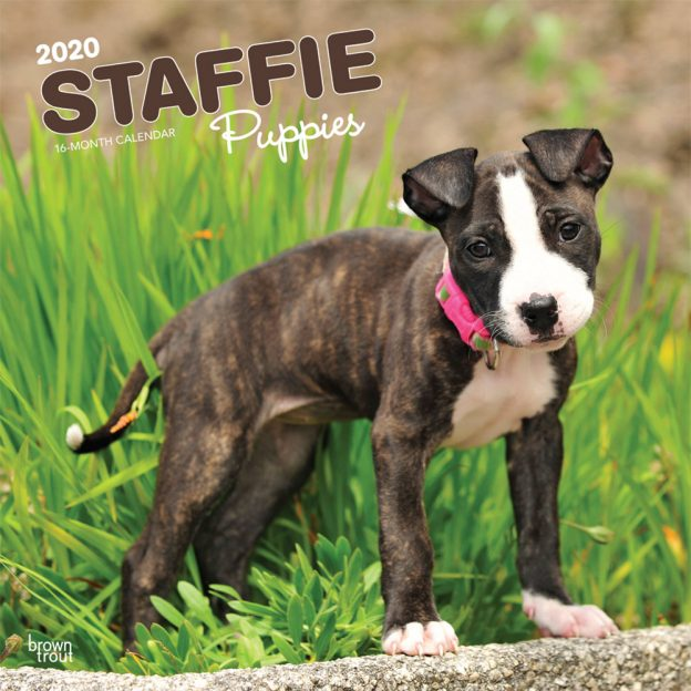 Staffie Puppies 2020 12 x 12 Inch Monthly Square Wall Calendar, Animals Dog Breeds Staffordshire