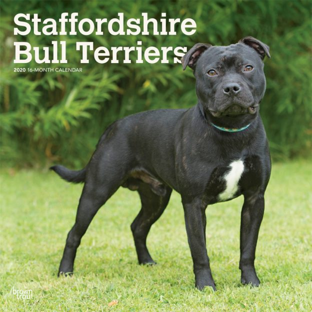 Staffordshire Bull Terriers 2020 12 x 12 Inch Monthly Square Wall Calendar, Animals Dog Breeds