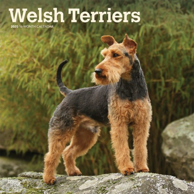 Welsh Terriers 2020 12 x 12 Inch Monthly Square Wall Calendar, Animals Dog Breeds Terriers