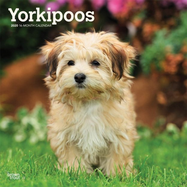 Yorkipoos 2020 12 x 12 Inch Monthly Square Wall Calendar, Animals Small Dog Breeds Yorkipoo