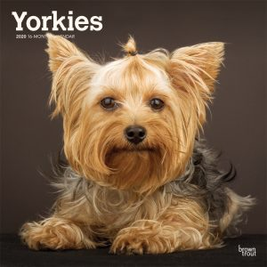 Yorkies International Edition 2020 12 x 12 Inch Monthly Square Wall Calendar, Animals Small Dog Breeds Yorkshire Terriers