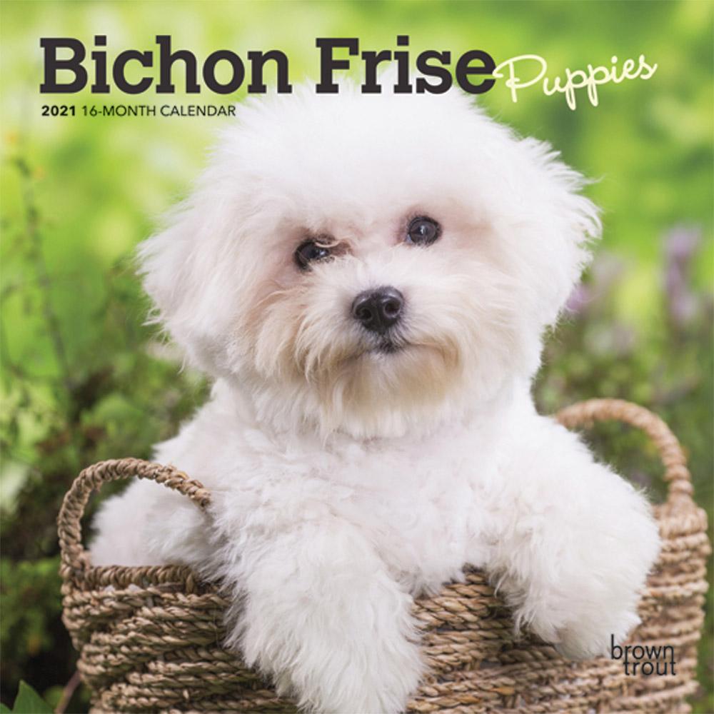 Bichon Frise Puppies 2021 7 x 7 Inch Monthly Mini Wall Calendar, Animals Dog Breeds Puppies