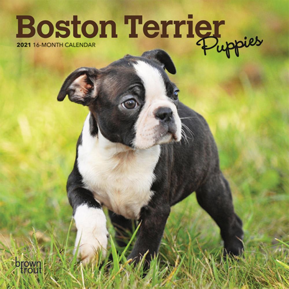 Boston Terrier Puppies 2021 7 x 7 Inch Monthly Mini Wall Calendar, Animals Dog Breeds Terrier Puppies