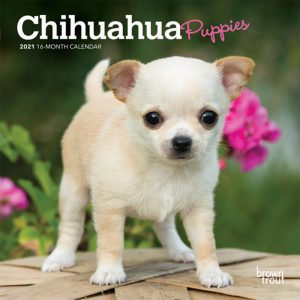Chihuahua Puppies 2021 7 x 7 Inch Monthly Mini Wall Calendar, Animals Small Dog Breeds Puppies