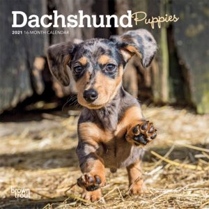 Dachshund Puppies 2021 7 x 7 Inch Monthly Mini Wall Calendar, Animals Dog Breeds Puppies