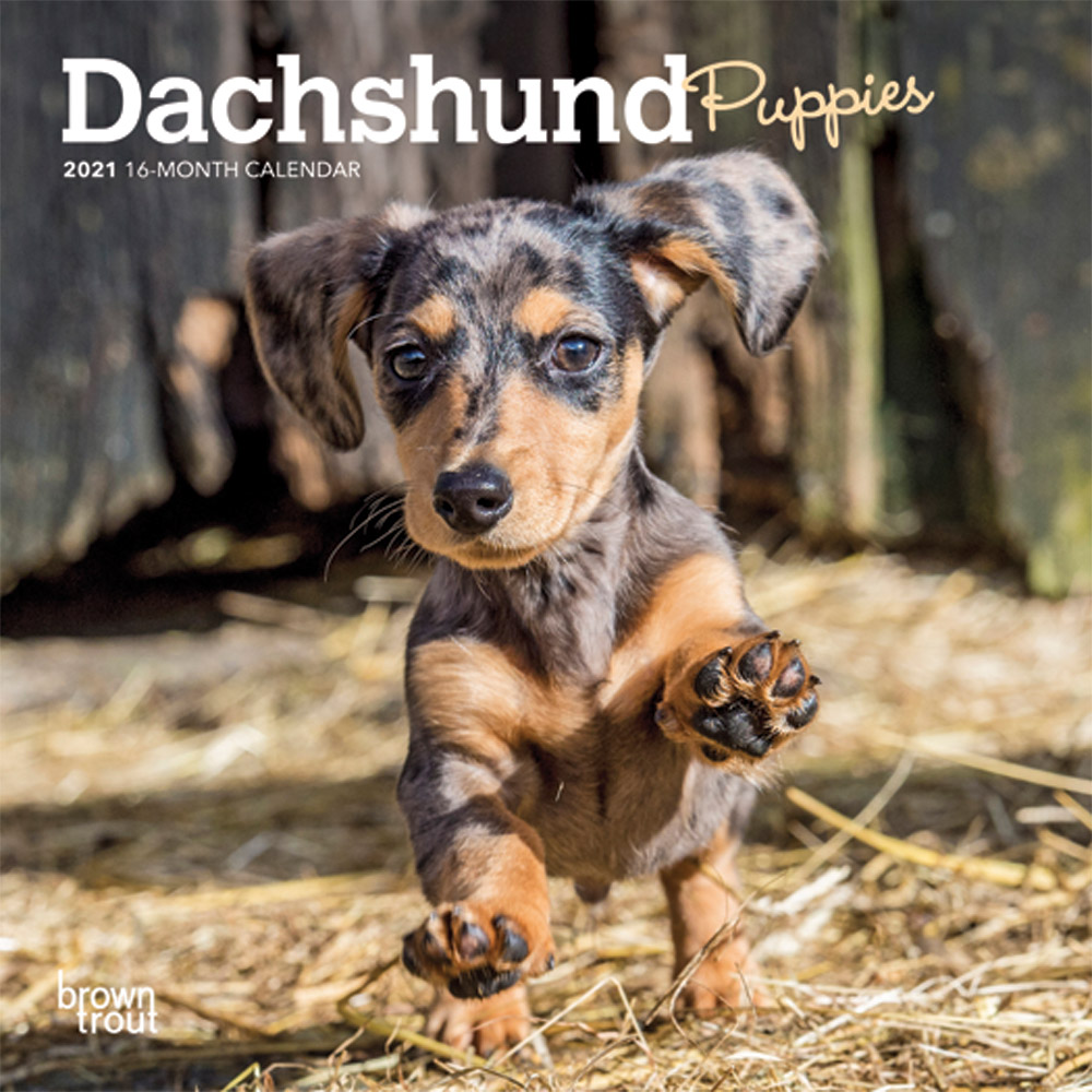 Dachshund Puppies 2021 7 x 7 Inch Monthly Mini Wall Calendar, Animals Dog Breeds Puppies