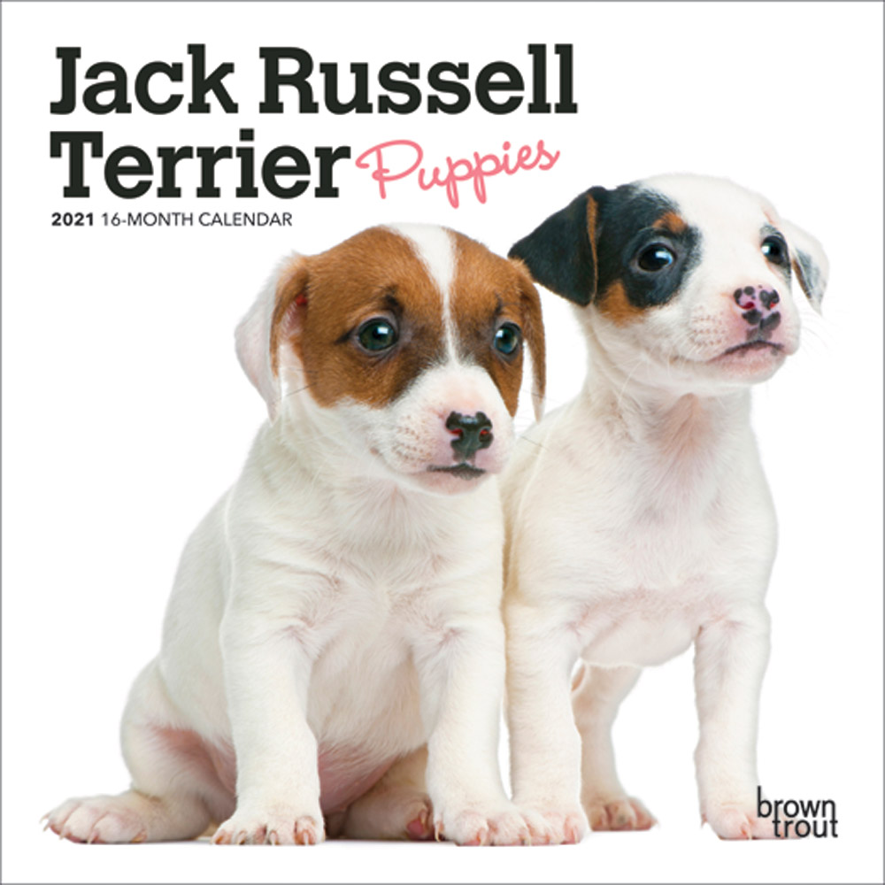 Jack Russell Terrier Puppies 2021 7 x 7 Inch Monthly Mini Wall Calendar, Animals Dog Breeds Terriers