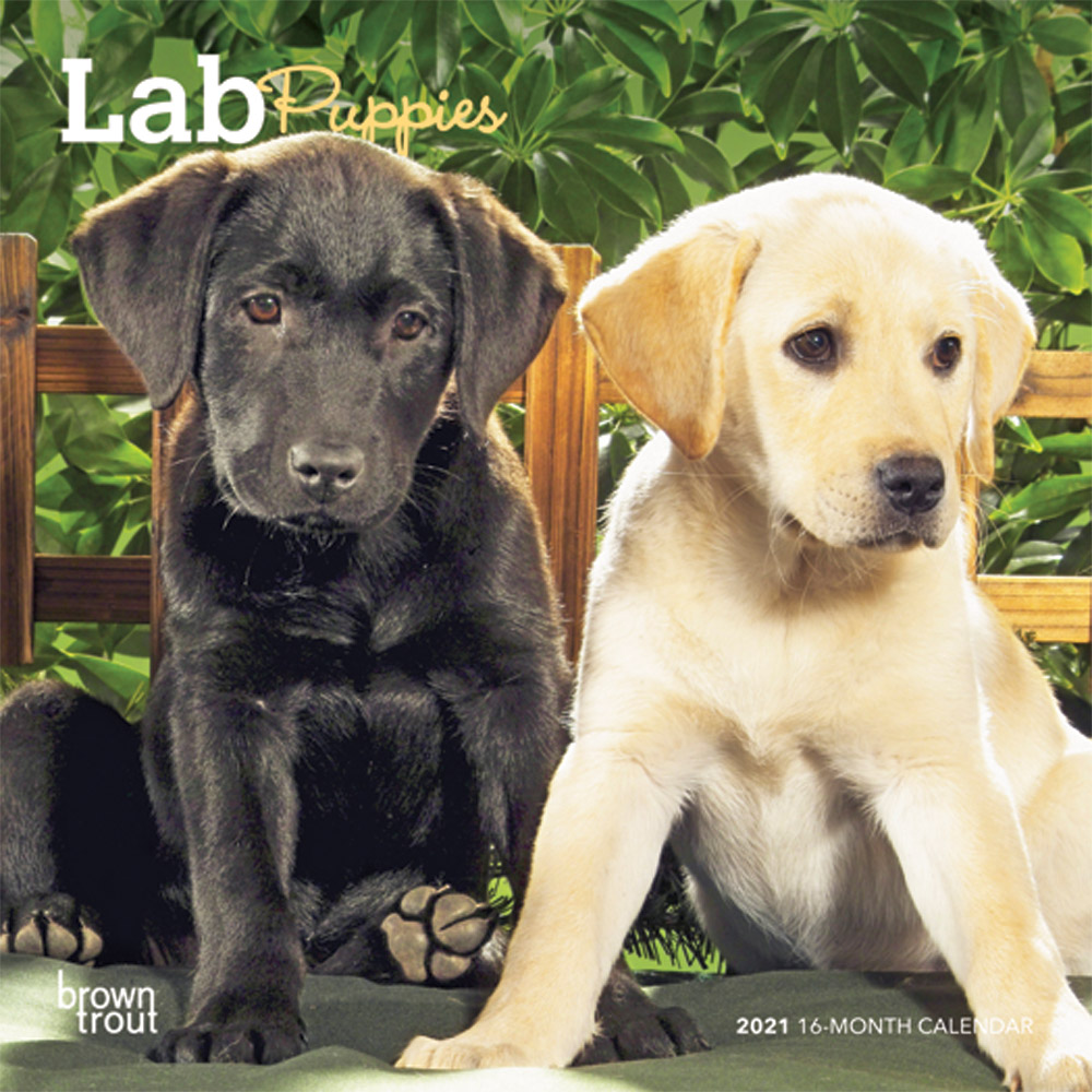 Lab Puppies 2021 7 x 7 Inch Monthly Mini Wall Calendar, Animals Dog Breeds Puppies
