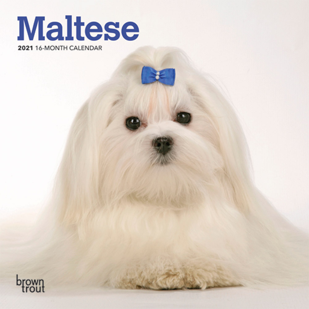 Maltese 2021 7 x 7 Inch Monthly Mini Wall Calendar, Animals Small Dog Breeds