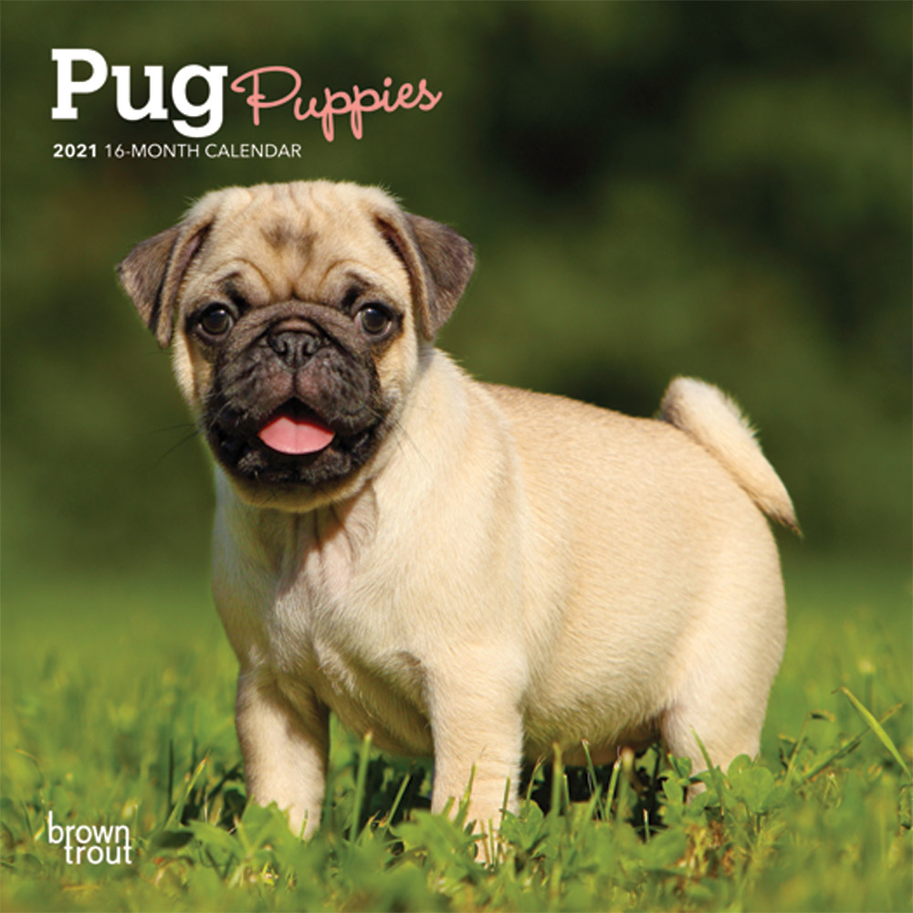 Pug Puppies 2021 7 x 7 Inch Monthly Mini Wall Calendar, Animals Dog Breeds Puppies