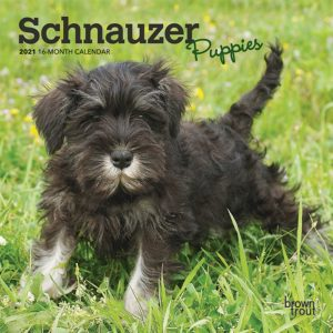 Schnauzer Puppies 2021 7 x 7 Inch Monthly Mini Wall Calendar, Animals Dog Breeds Puppies