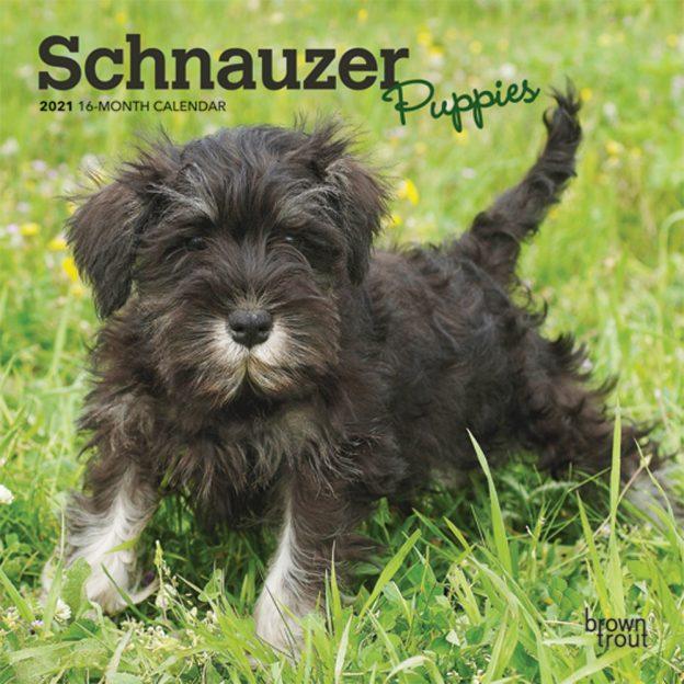 Schnauzer Puppies 2021 7 x 7 Inch Monthly Mini Wall Calendar, Animals Dog Breeds Puppies