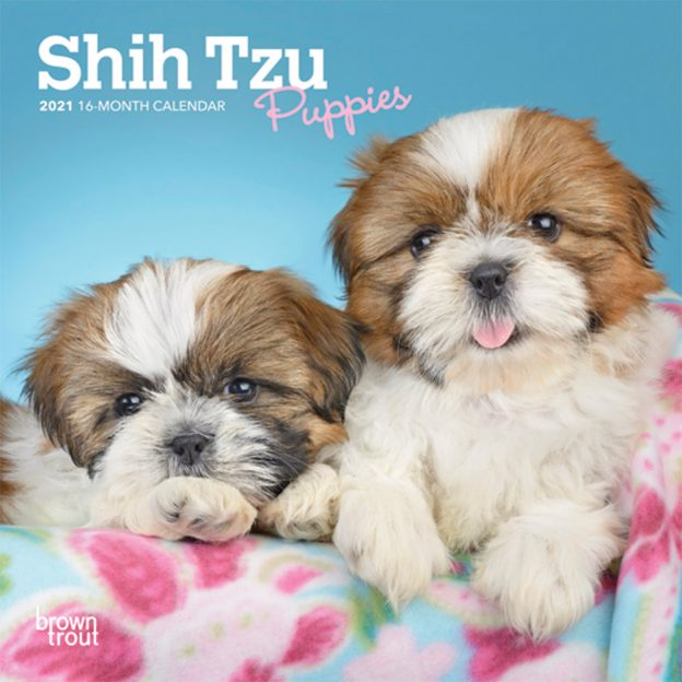 Shih Tzu Puppies 2021 7 x 7 Inch Monthly Mini Wall Calendar, Animal Small Dog Breed Puppies