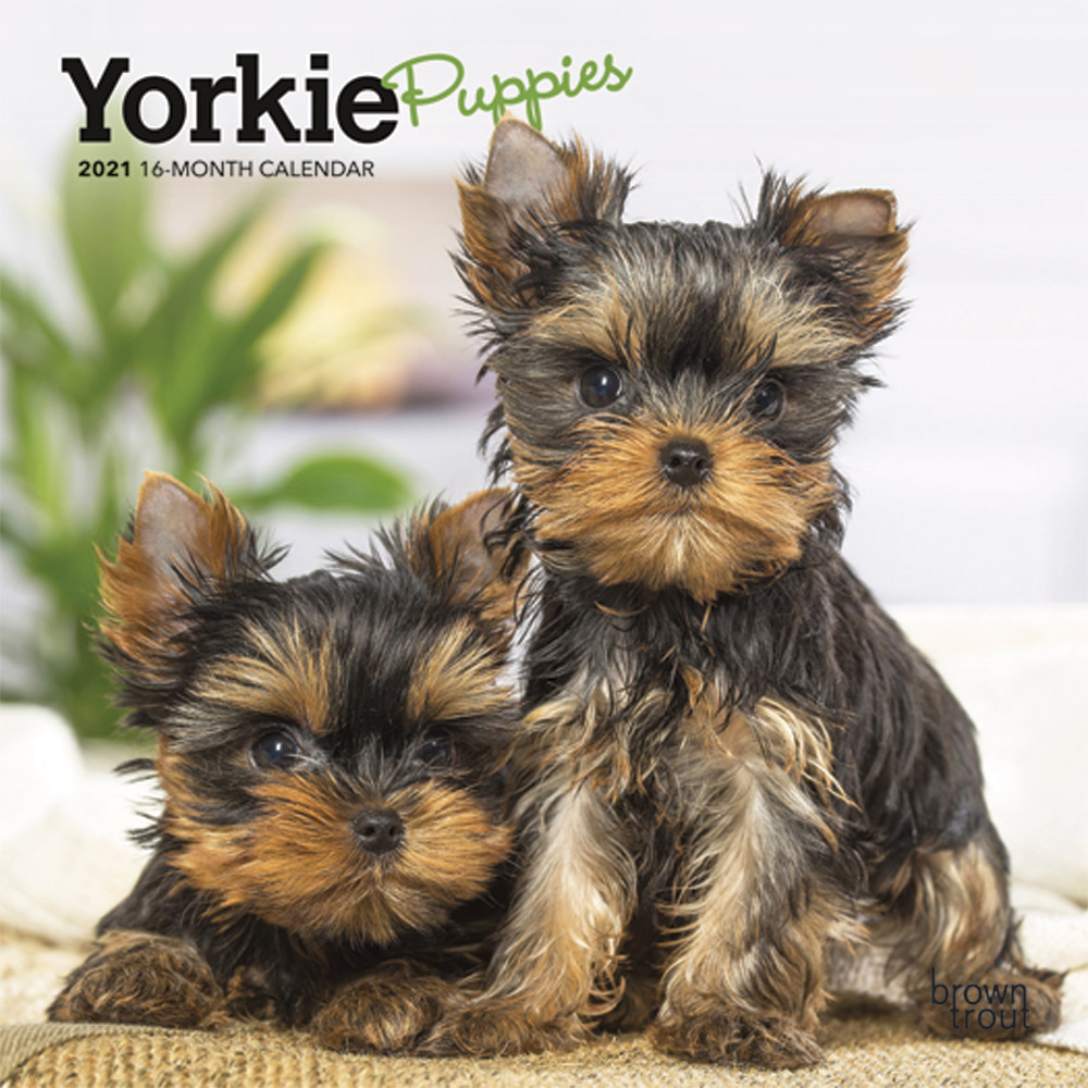 Yorkie Puppies 2021 7 x 7 Inch Monthly Mini Wall Calendar, Animals Small Dog Breeds Terrier Yorkshire Terrier