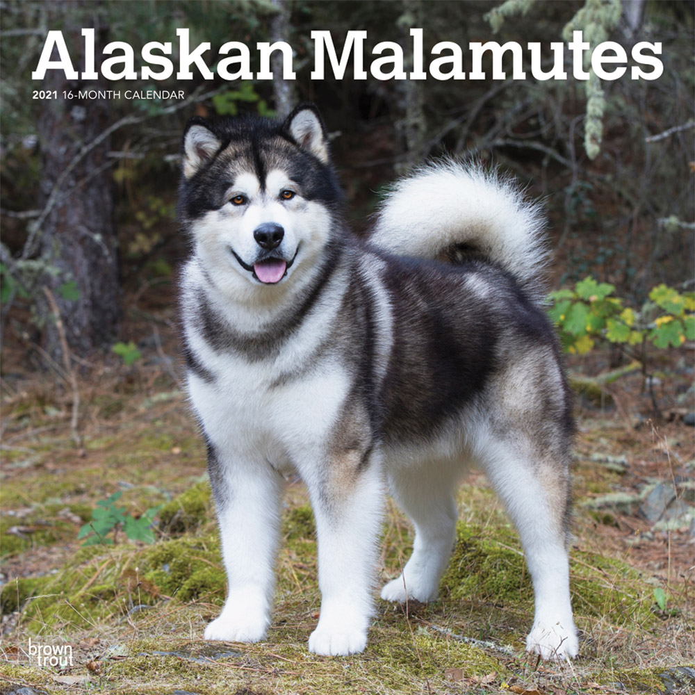 Alaskan Malamutes 2021 12 x 12 Inch Monthly Square Wall Calendar, Animals Dog Breeds