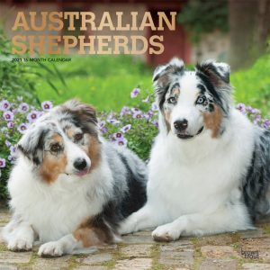 Australian Shepherds 2021 12 x 12 Inch Monthly Square Wall Calendar with Foil Stamped Cover, Animals Dog Breeds