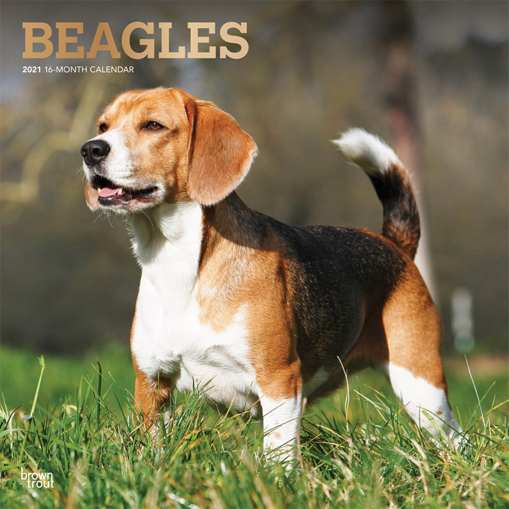 Beagles 2021 12 x 12 Inch Monthly Square Wall Calendar with Foil Stamped Cover, Animals Dog Breeds