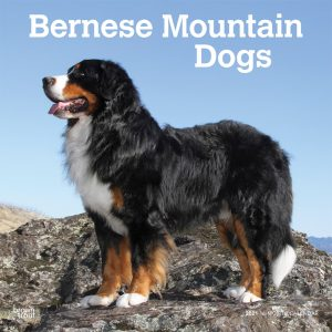 Bernese Mountain Dogs 2021 12 x 12 Inch Monthly Square Wall Calendar, Animals Dog Breeds