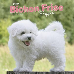 Bichon Frise Puppies 2021 12 x 12 Inch Monthly Square Wall Calendar, Animals Dog Breeds Puppies
