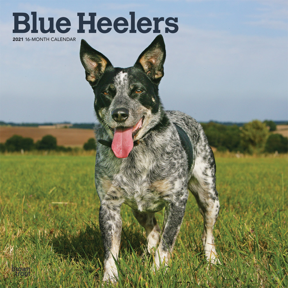 Blue Heelers 2021 12 x 12 Inch Monthly Square Wall Calendar, Animals Dog Breeds