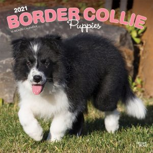 Border Collie Puppies 2021 12 x 12 Inch Monthly Square Wall Calendar, Animals Dog Breeds Collie Puppies