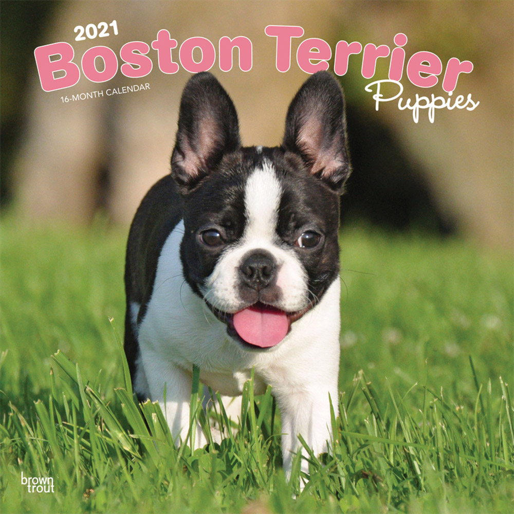 Boston Terrier Puppies 2021 12 x 12 Inch Monthly Square Wall Calendar, Animals Dog Breeds Terrier Puppies