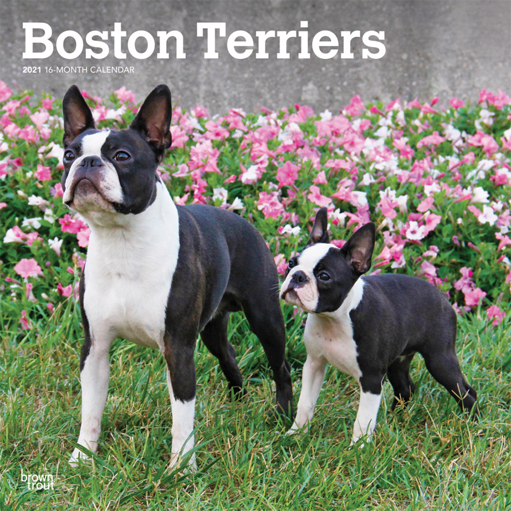 Boston Terriers 2021 12 x 12 Inch Monthly Square Wall Calendar, Animals Dog Breeds Terriers
