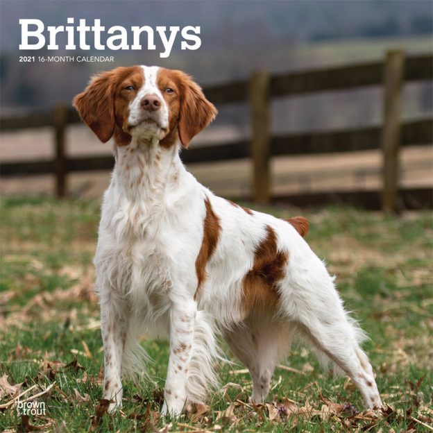Brittanys 2021 12 x 12 Inch Monthly Square Wall Calendar, Animals Dog Breeds