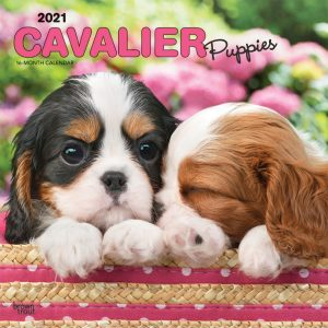 Cavalier King Charles Spaniel Puppies 2021 12 x 12 Inch Monthly Square Wall Calendar, Animals Dog Breeds Puppies
