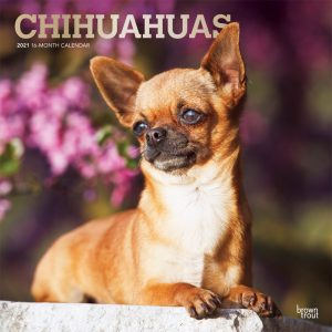 Chihuahuas 2021 12 x 12 Inch Monthly Square Wall Calendar with Foil Stamped Cover, Animals Small Dog Breeds Puppies