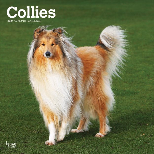 Collies 2021 12 x 12 Inch Monthly Square Wall Calendar, Animals Dog Breeds Collies