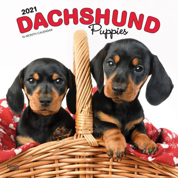 Dachshund Puppies 2021 12 x 12 Inch Monthly Square Wall Calendar, Animals Dog Breeds Puppies