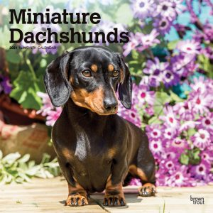 Miniature Dachshunds 2021 12 x 12 Inch Monthly Square Wall Calendar, Animals Small Dog Breeds