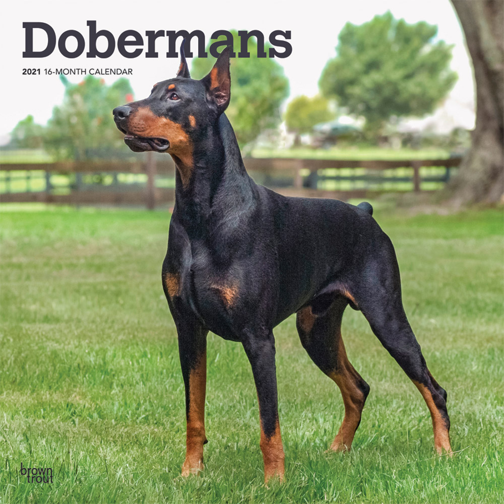 Dobermans 2021 12 x 12 Inch Monthly Square Wall Calendar, Animals Dog Breeds