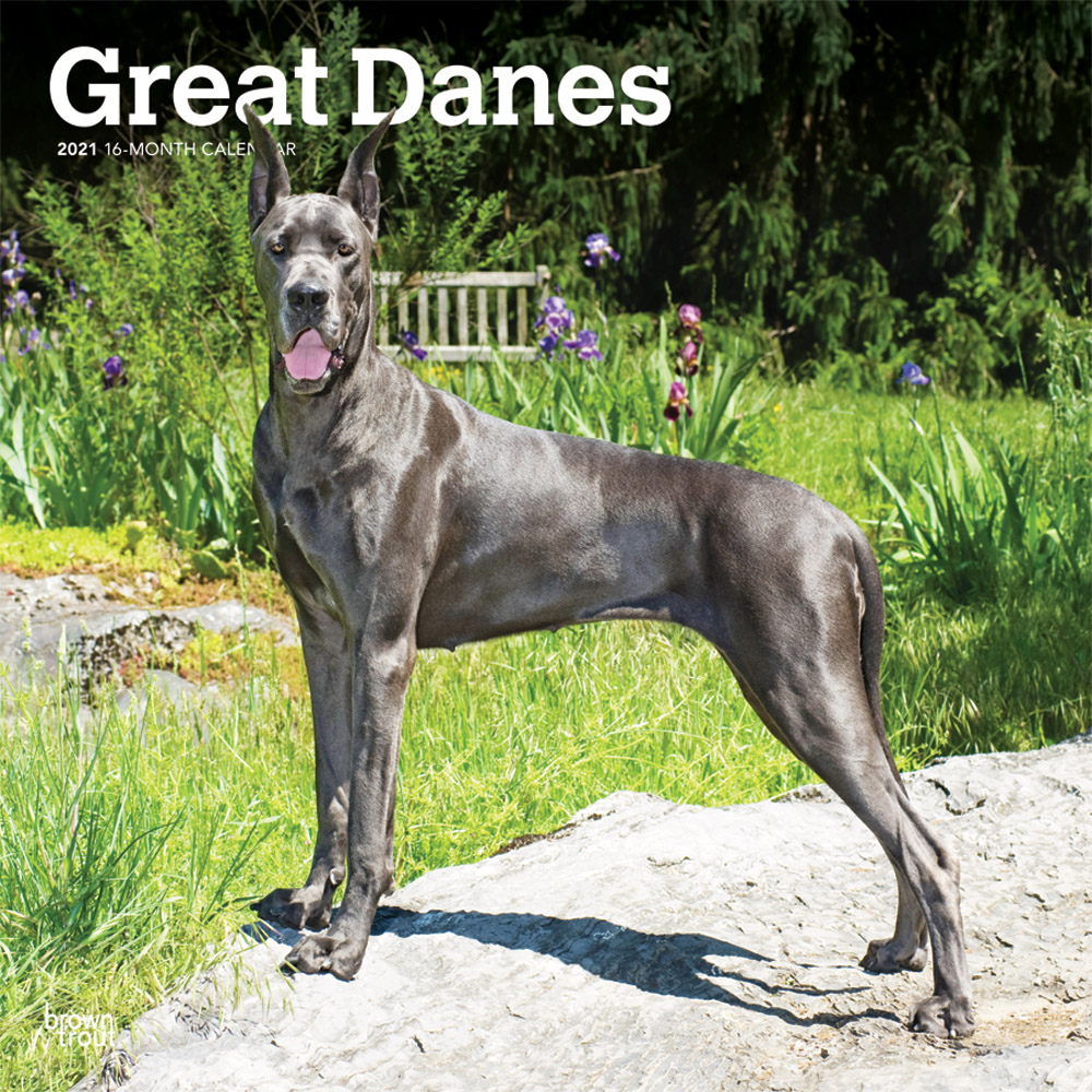 Great Danes 2021 12 x 12 Inch Monthly Square Wall Calendar, Animals Dog Breeds