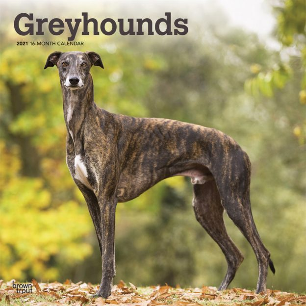 Greyhounds 2021 12 x 12 Inch Monthly Square Wall Calendar, Animals Dog Breeds