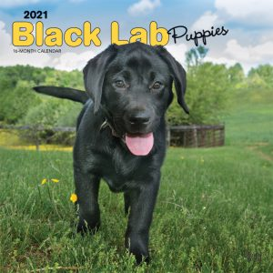Black Labrador Retriever Puppies 2021 12 x 12 Inch Monthly Square Wall Calendar, Animals Dog Breeds Retriever Puppies